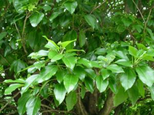 황칠나무 효능 부작용