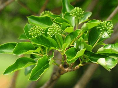 황칠나무 효능